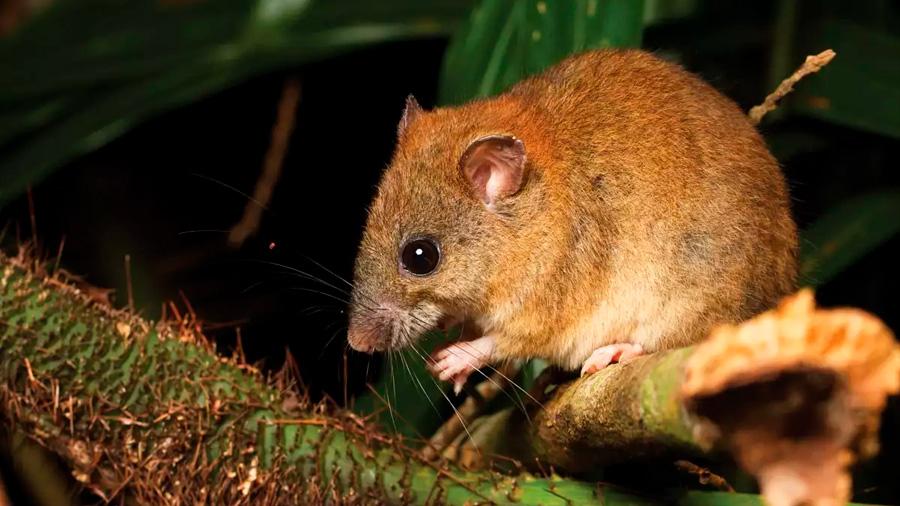 Australia reporta primer mamífero extinto por cambio climático