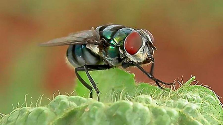 Aunque no lo creas, las moscas mantienen el equilibrio de la Tierra
