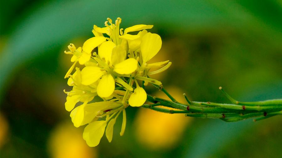 'Ersymum incanum', la planta que se fertiliza frotando sus propias 'manitas'