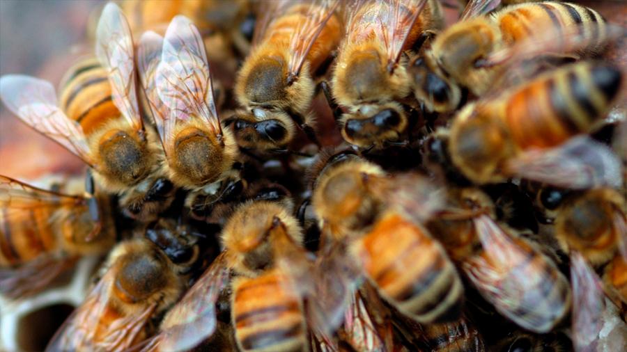 Experimento muestra cómo las abejas resisten juntas las fuerzas extremas