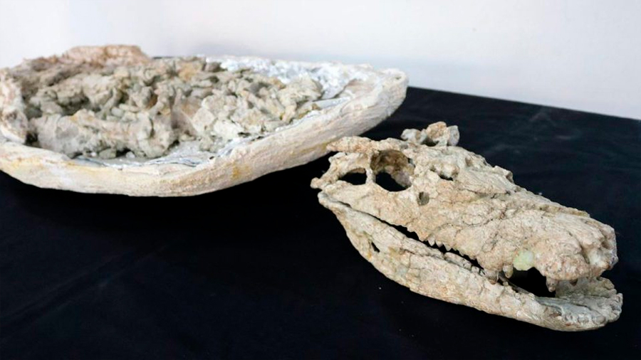 Hallan el esqueleto casi completo de un cocodrilo de 70 millones de años