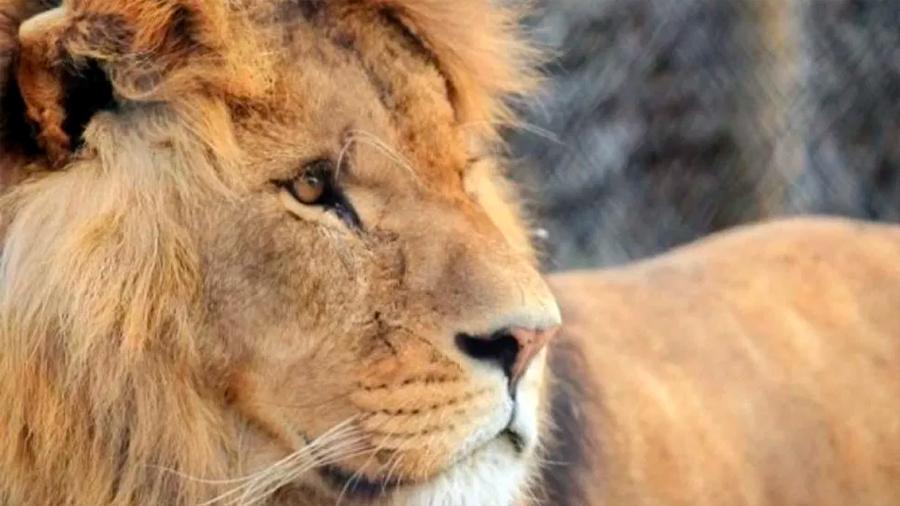 Un león es asesinado por su manada en zoológico del Reino Unido