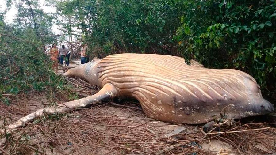 Brasil: ballena blanca encontrada en medio de la selva sorprende a biólogos