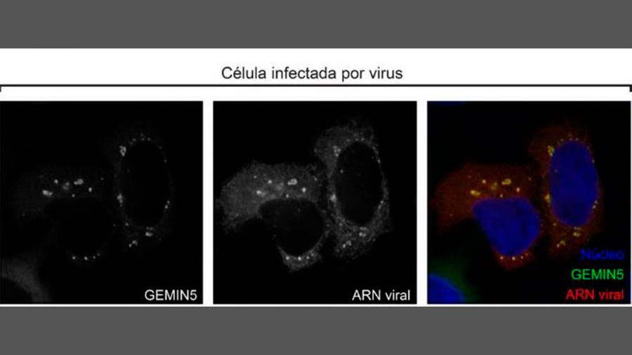 Descubren las proteínas de unión al ARN que causan la infección por virus