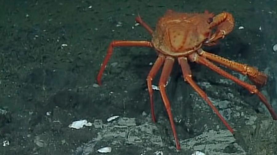 Logran observar cangrejos que se alimentan en las fugas de metano del fondo marino