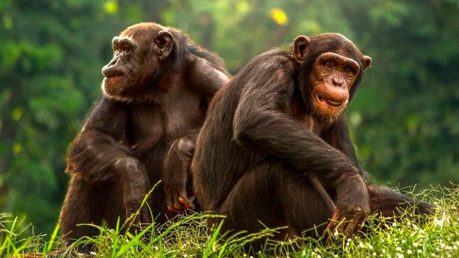 """Científicos descubren una civilización """"avanzada"""" de chimpancés"""