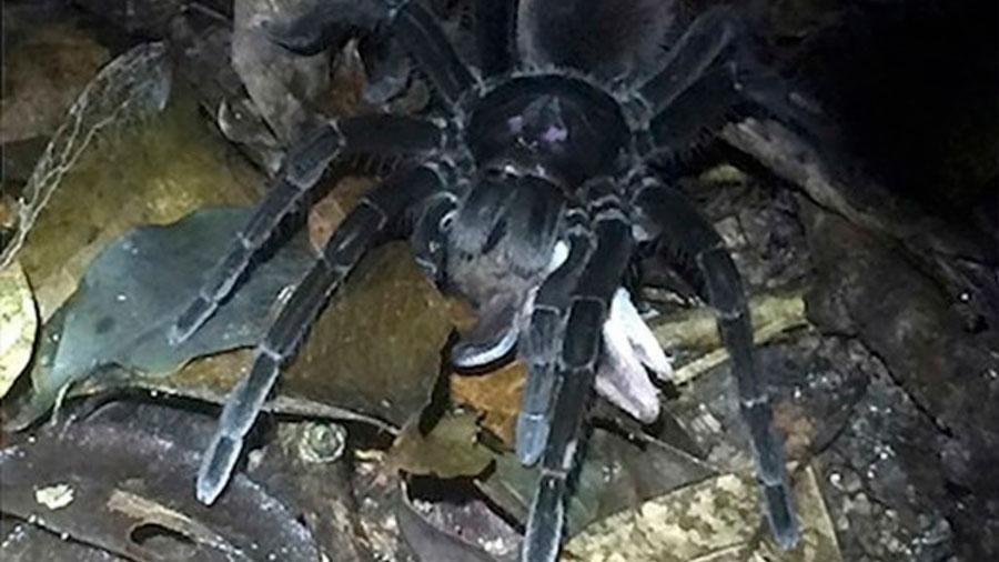 Captan por primera vez a una descomunal tarántula atacando y devorando a una zarigüella