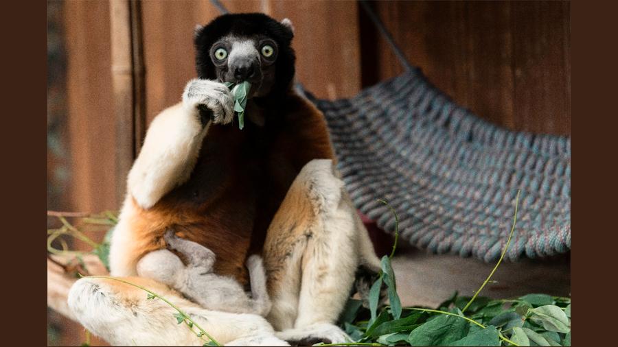 Nace en zoológico francés un lémur de una especie amenazada, de la que hay 20 ejemplares en el orbe