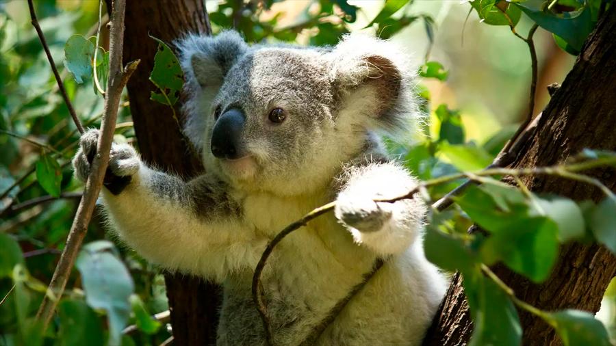 Eficiente uso de drones para preservar a los koalas … desde el cielo