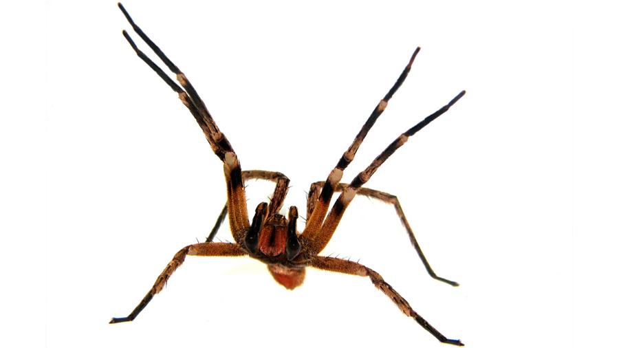 Veneno de una araña podría ser más eficaz que el Viagra