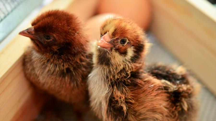 Diseñan pollos editados genéticamente para evitar nuevas pandemias de gripe aviar