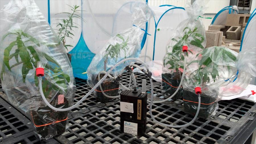 Una aromática señal de alerta une a las plantas hembra