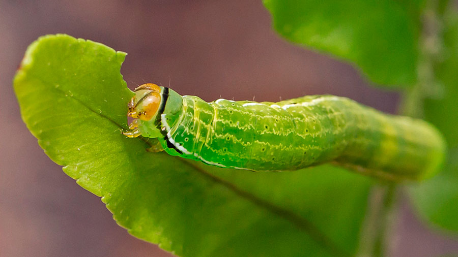 Morir devorada o consumir arsénico: la vida de una oruga única en su especie