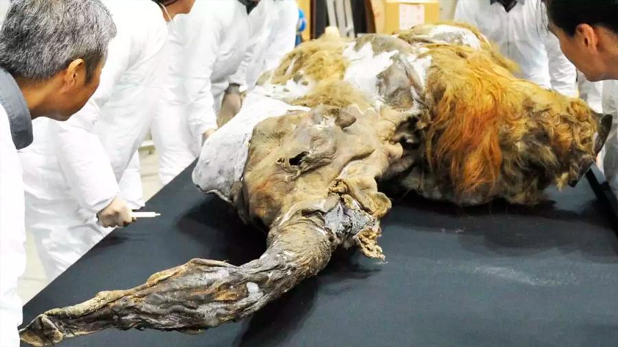 Cómo científicos en Japón lograron activar células de un mamut de 28,000 años
