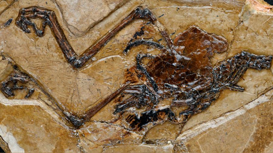China: hallan el primer fósil de una ave con un huevo preservado en su interior