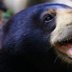 Osos se imitan entre sí expresiones faciales, como humanos y gorilas