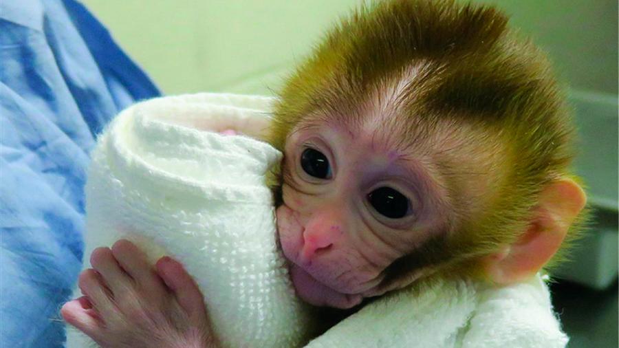 Nace una cría de macaco a partir de tejido testicular prepúber