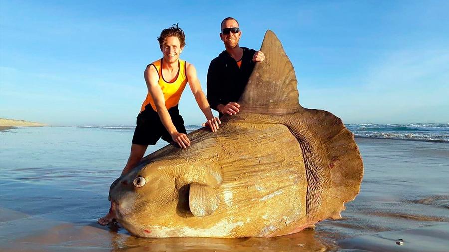 Hallan extraño y gigantesco pez encallado en una playa de Australia