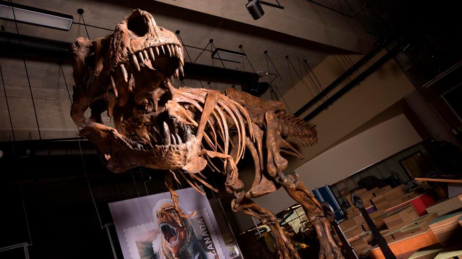 Presenten en Canadá el Tiranosaurio Rex más grande del mundo: 13 metros de largo
