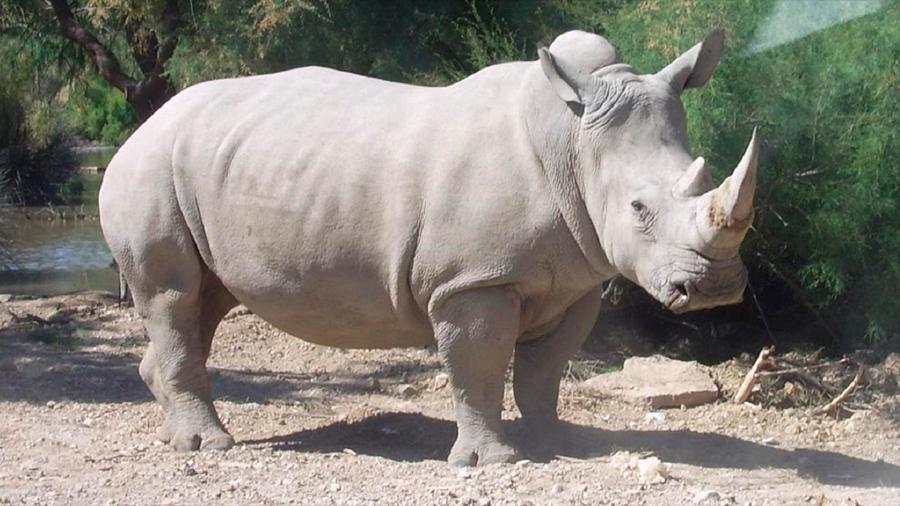 Producen óvulos a partir de tejido para salvar al rinoceronte blanco del norte
