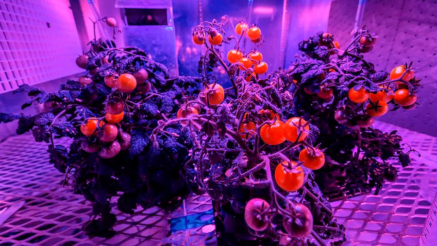 Científica colombiana crea pequeña planta de tomate cultivable en estaciones espaciales