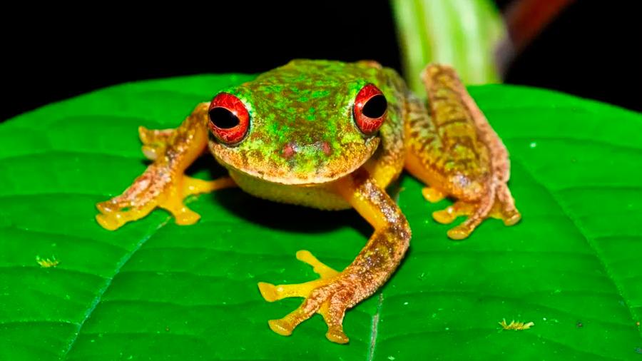 Más de 90 especies de anfibios se han extinguido por un hongo