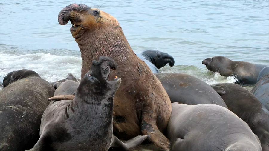 Alertan por declive de elefantes marinos en costas del pacífico mexicano
