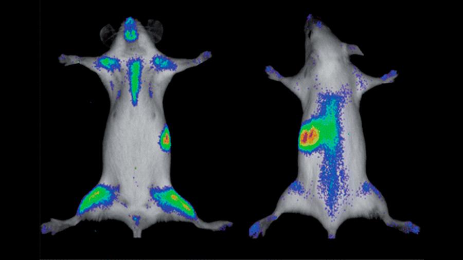 Bioluminiscencia: herramienta para el estudio del cáncer y la regeneración celular