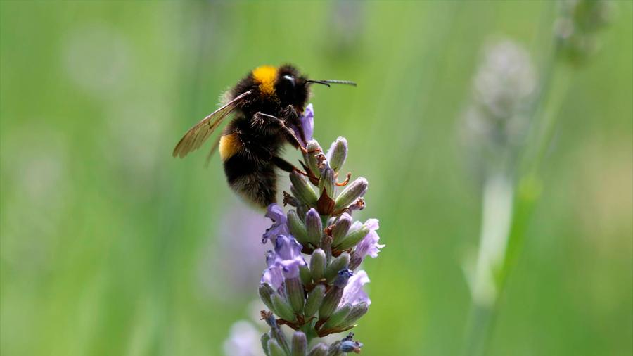Los abejorros expuestos a un moderno pesticida no pueden con sus alas