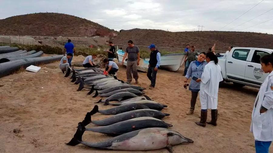 El cambio climático afecta la supervivencia y reproducción de delfines, revela estudio