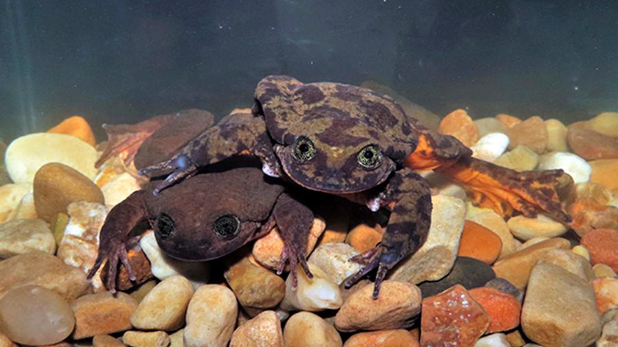 Ranas Romeo y Julieta tuvieron su primera cita para intentar aparearse y salvar su especie