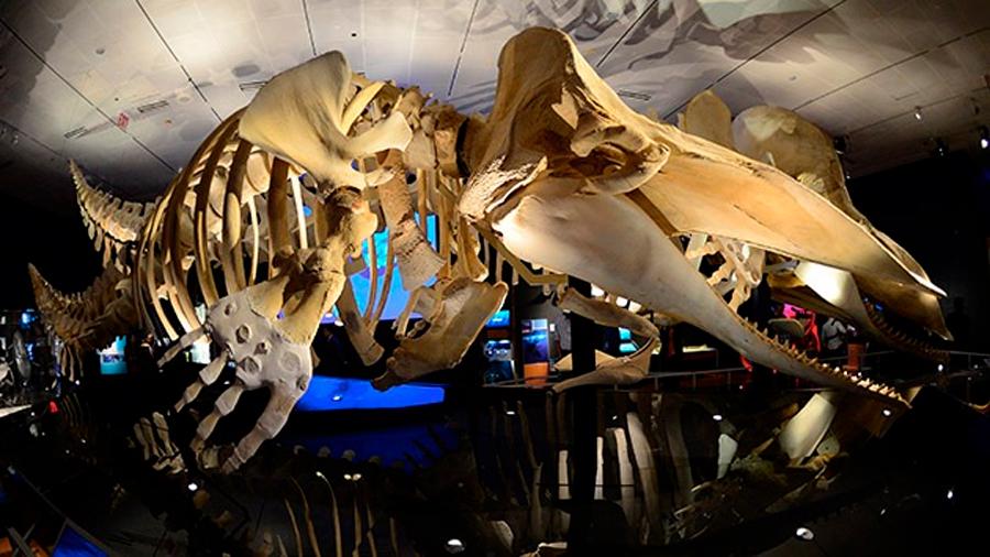 Hallan en Perú fósiles de una ballena anfibia de cuatro patas