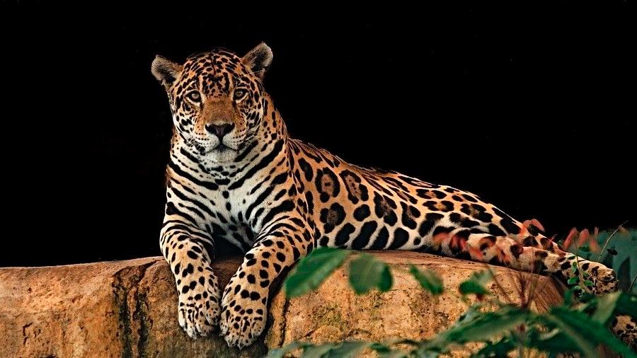 Nace primer jaguar por inseminación artificial y su madre se lo come al segundo día
