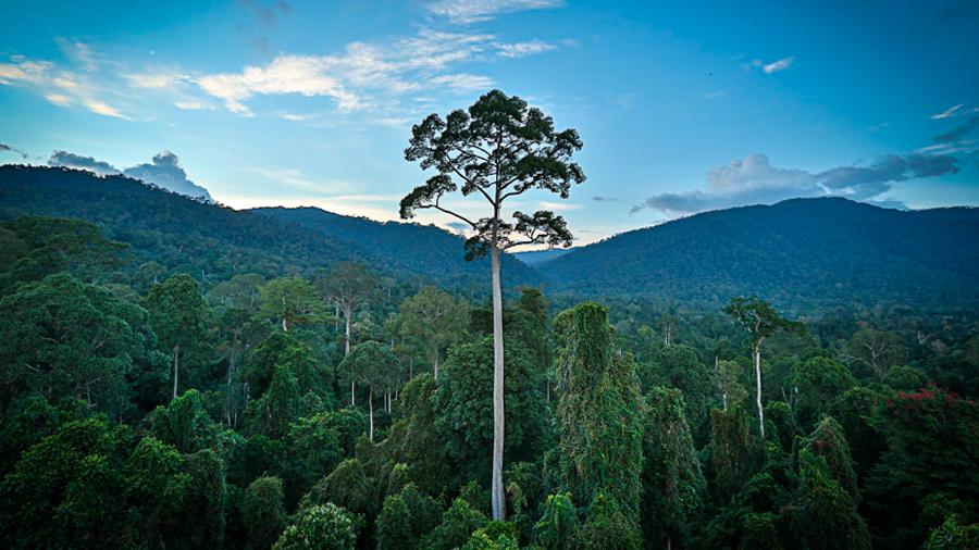 Descubren en selvas de Borneo el nuevo árbol tropical más alto del mundo y supera los 100 metros