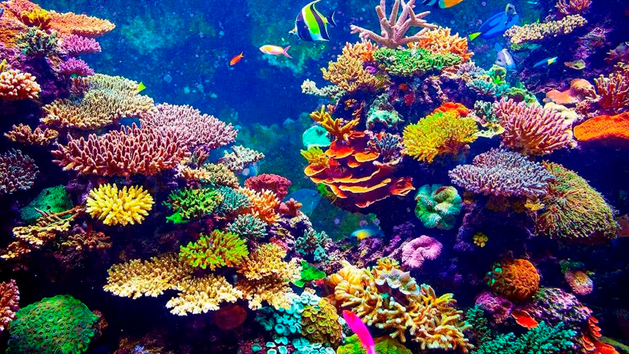 El calentamiento global merma la capacidad de recuperación del coral