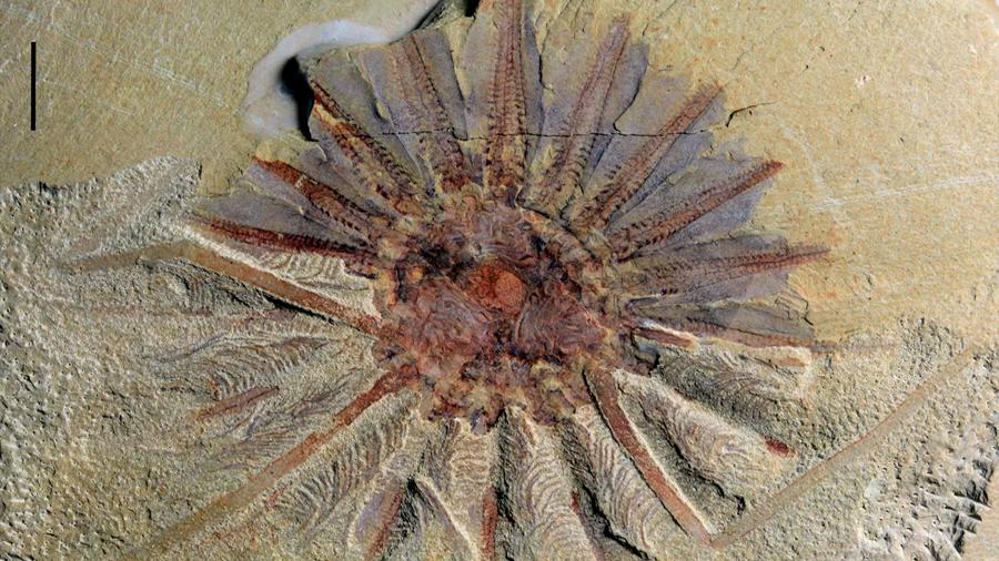 Hallan en China extraña criatura de 18 tentáculos que alguna vez habitó los océanos