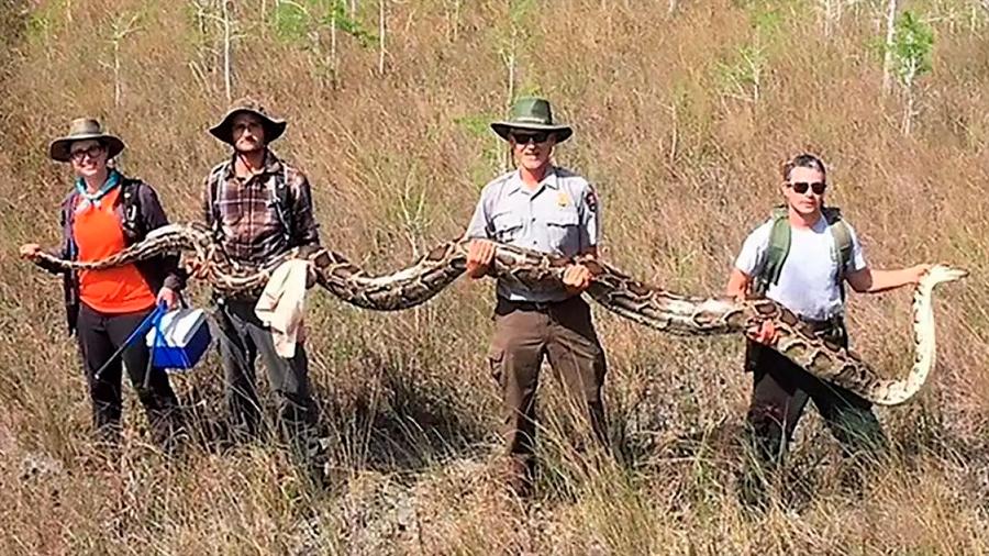 "Capturan en Florida serpiente pitón de ""tamaño récord"": 5.2 metros de largo"