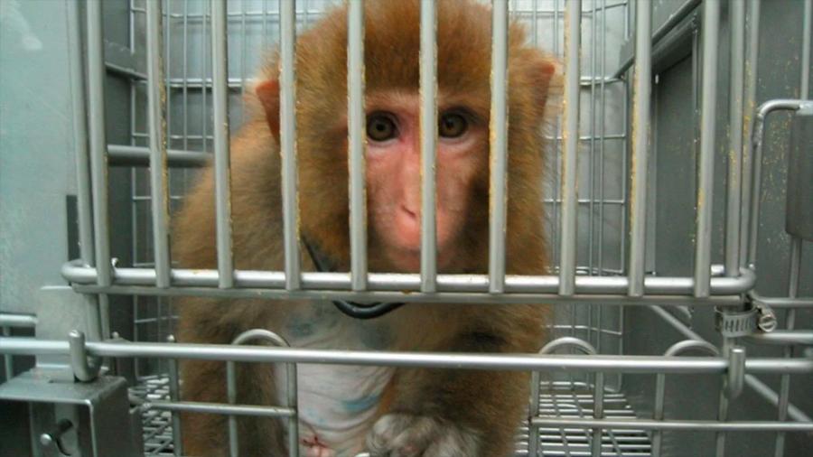 Científicos chinos implantan gen humano en monos para hacerlos más inteligentes