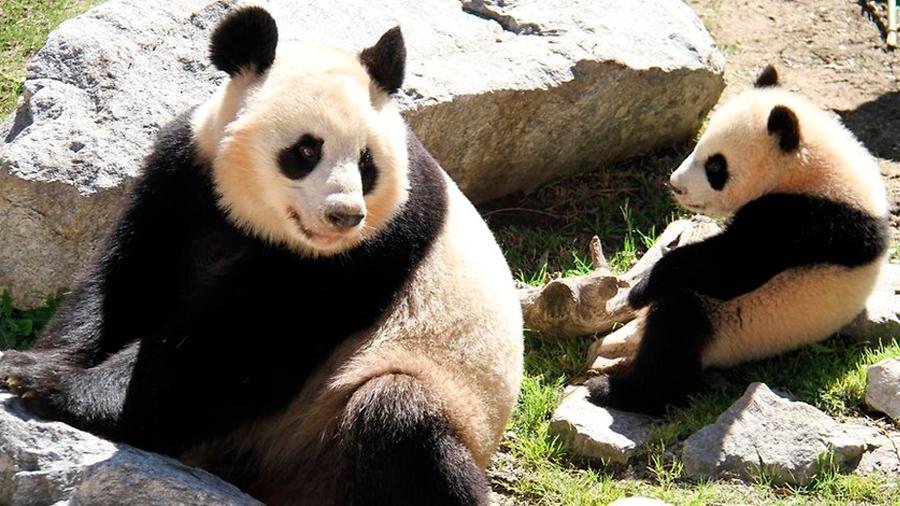 El zoológico de Berlín espera que haya romance entre dos pandas