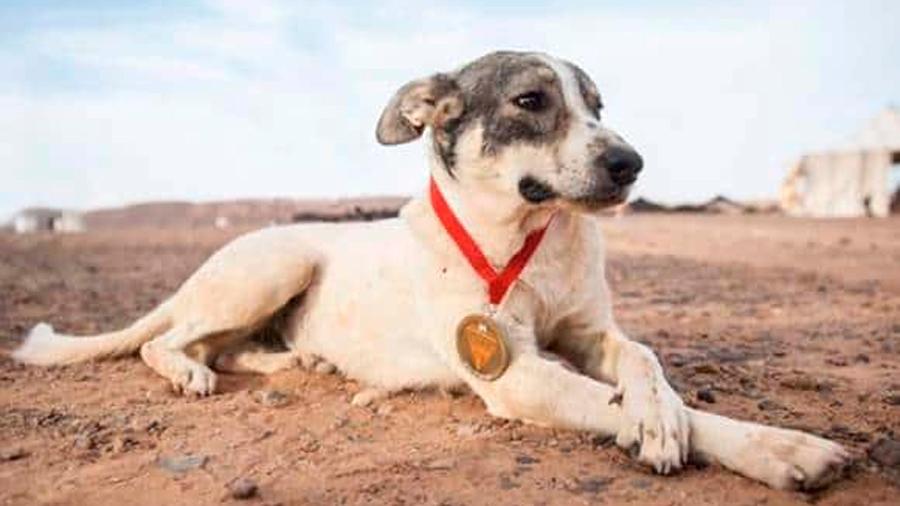 Causa asombro Cactus, un perro maratonista en el Sahara