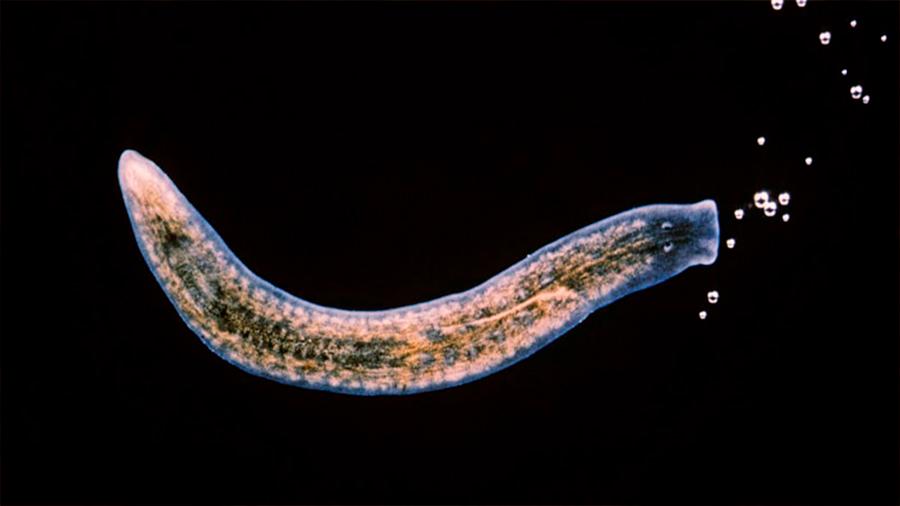 Descubren el gen que permite a los gusanos regenerar sus cuerpos, también presente en humanos