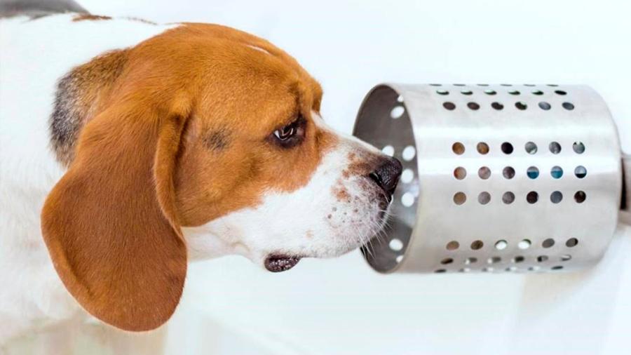 ¡Guau! Los perros de raza Beagle son capaces de detectar el cáncer con suma precisión, revela estudio
