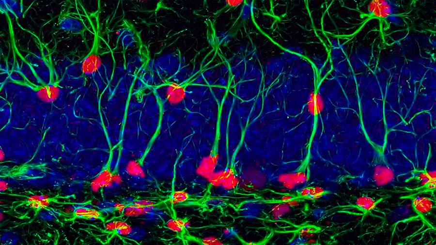 Un estudio en ratones revela que los beneficios cognitivos del deporte se heredan