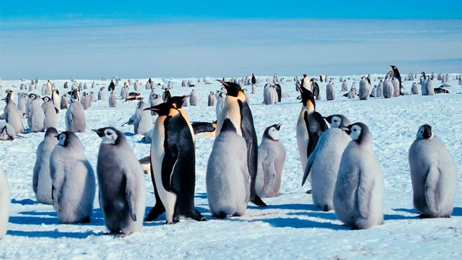 Descubren fallo reproductivo catastrófico en una colonia masiva de pingüinos
