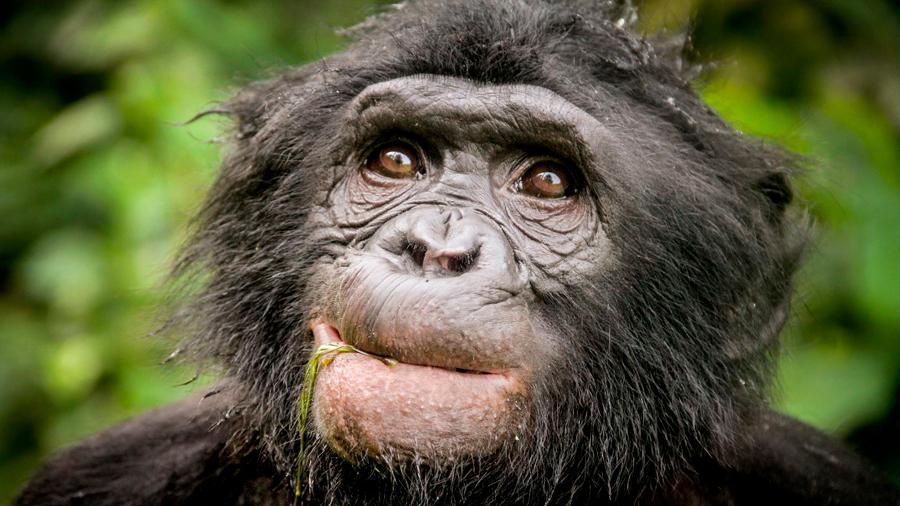 Descubren una rama de chimpancé arcaico