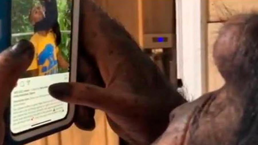 Un chimpancé ha conquistado Internet por su manejo del móvil
