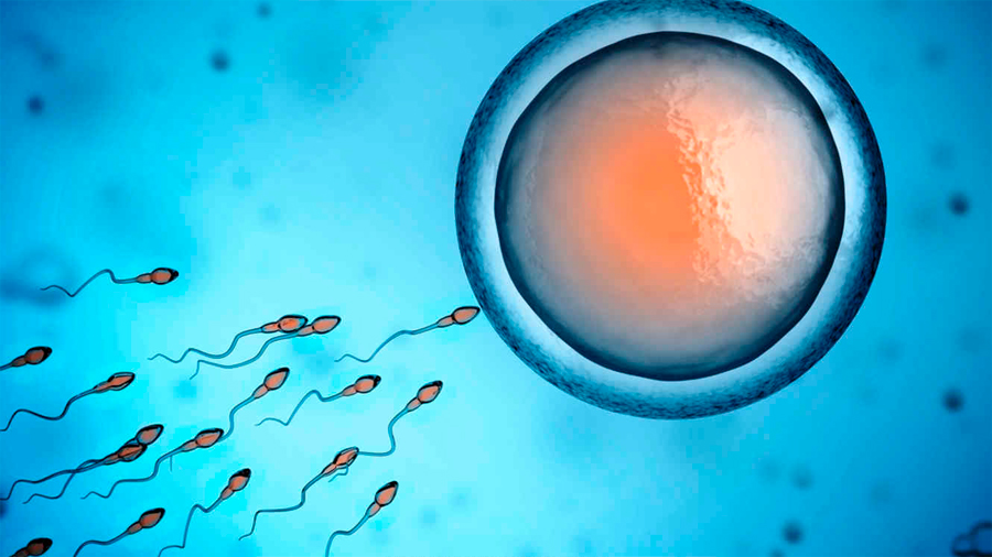 Identifican molécula que guía a los espermas hacia el óvulo