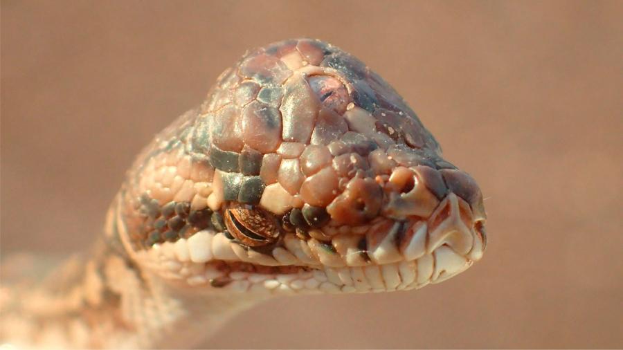 Descubren una serpiente de tres ojos en Australia