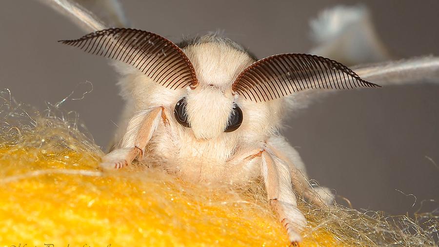 Descubren como funciona el esperma que no fertiliza a las mariposas de seda