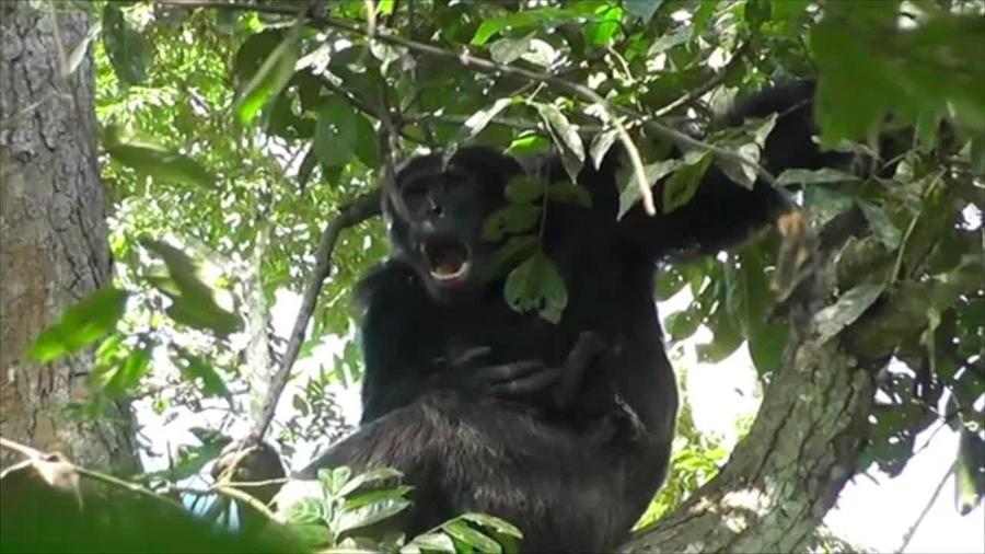 Logran grabar a jefe alfa chimpancé que acunó a bebé hembra de 20 días en lugar de matarla